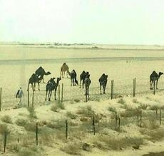 "<div class=""source"">Submitted by Carl Turner</div><div class=""image-desc"">Carl took this photo of a herd of camels while he was working on a very hot day. ""It was over 100 degrees today,"" Carl wrote to Daniel. </div><div class=""buy-pic""></div>"