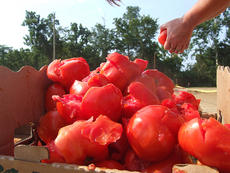 """<div class=""""source"""">Stephen Lega</div><div class=""""image-desc"""">Jenna Cook stacks up tomatoes after softening them for the fight. </div><div class=""""buy-pic""""><a href=""""http://web2.lcni5.com/cgi-bin/c2newbuyphoto.cgi?pub=015&orig=07-30-14_tomato_conflict_pic_3.jpg"""" target=""""_new"""">Buy this photo</a></div>"""