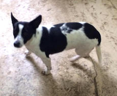 """<div class=""""source""""></div><div class=""""image-desc"""">Oreo is a two-year-old female rat terrier mix. Loves men! No children. She is very timid. She is spayed and up to date on shots. Adoption fee $100 to cover vet bill. If your pet is missing, call the shelter-it may be there. For a complete listing of pets with pictures visit adoption@petfinder.com. The shelter reminds pet owners that all cats and dogs should have a rabies shot. To adopt an animal, potential owners must complete an adoption application. The animal shelter accepts stray or unwanted animals. The shelter is located off of KY 208 and is open from noon until 5 p.m. Monday through Friday and 9 a.m. until noon on Saturday. The phone number is 270-692-0464. </div><div class=""""buy-pic""""></div>"""