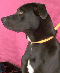 """<div class=""""source""""></div><div class=""""image-desc"""">Rex is a neutered 1-2-year-old lab boxer mix. If your pet is missing, call the shelter-it may be there. For a complete listing of pets with pictures visit adoption@petfinder.com. The shelter reminds pet owners that all cats and dogs should have a rabies shot. To adopt an animal, potential owners must complete an adoption application. The animal shelter accepts stray or unwanted animals. The shelter is located off of KY 208 and is open from noon until 5 p.m. Monday through Friday and 9 a.m. until noon on Saturday. The phone number is 270-692-0464. </div><div class=""""buy-pic""""></div>"""
