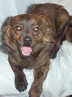 "<div class=""source""></div><div class=""image-desc"">My name is Rudy.  I am a one year old male Terrier/Shepherd mix.  I am of dark, brindle color and weigh about 15 pounds.  I am very happy and a playful dog.  I get along well with other dogs and cats. 