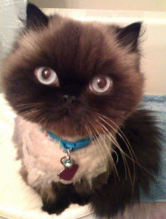 Jasmine is an 11-year-old Seal Point Himalayan. Santa brought her to live with Ann Dabney of Campbellsville one snowy Christmas Eve. Her best trick is fetching, and her favorite activities include neighborhood watch, catnip appreciation, and winning.