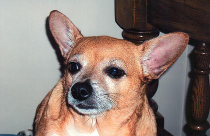 Sassy is a 7-year-old female Chihuahua from Lebanon. Her best trick is dancing for cheese, and her favorite activity is eating.