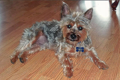 Sawyer Olivier, a 3-year-old male Yorkshire Terrier