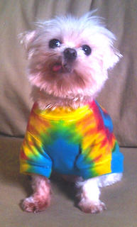 Tillie is a 3-year-old female Maltese who like trying new clothes on, running free in the grass and cheering on the Wildcats! She met her owner, Natalie Farris of Somerset, on the Internet, and when she gets excited, she kicks like a donkey.