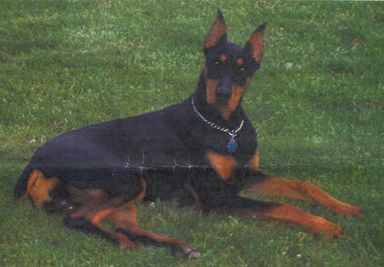 Tyson is a 2-year-old male Doberman Pinscher from Finley. When his owners went to buy a puppy, Tyson came bouncing across the porch and they just had to take him home. Tyson can catch ice in his mouth from halfway across the room. He also likes playing with a ball, chasing the laser light or fetching a stick. He loves water, going riding and laying in your lap.