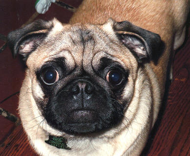 Willie is a 6-month old male Pug who lives with Toddy and Kelli Elder of Lebanon. He will give kisses if asked and he loves to eat and play outside. 