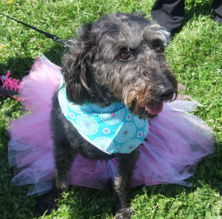 Lexi, a labradoodle, is dressed to impress.