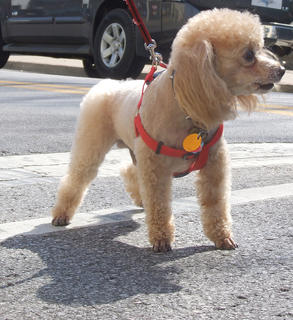 Twyla Washington's toy poodle, Savoir, stays alert during the walk.