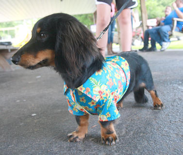 Otis is relaxed after his turn on stage in the pet show Friday at Old Mill Days.