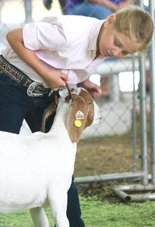 Avery Holman, 7, of Perryville examines her goat during the novice showmanship class.