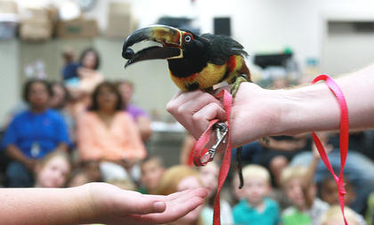 """Sam"" the aracari holds a blueberry it has just taken from Kyle Campbell's hand. Aracari's are in the toucan family of birds."