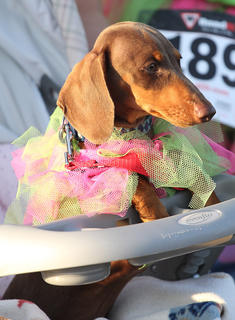 Max, a wiener dog, showed up in a baby carriage and tutu hoping for a shot at the best four-legged participant award.