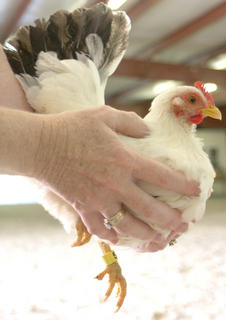 Pictured is a Japanese White Blacktail Hen that competed in the poultry show at the Marion County Fair Friday evening.