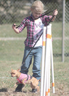 Fatboy, the chihuahua, does not quite understand what Kaylea Mattingly wants him to do on the agility course.