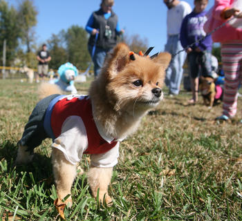 Brody, a pomeranian dressed as a pirate, takes in the scene Oct. 15 at Graham Memorial Park during the Marion County Animal Shelter's annual Barktoberfest. Dozens of dogs (and their owners) participated in contests, including best costume, pet-owner look-alike, agility, and best shelter dog.