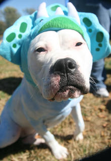 Gabbie, an American bulldog, came to the event dressed as a triceratops.