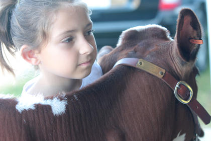 The Marion County Fair Dairy Show was held June 30 at the Marion County Fairgrounds. Lani Fairchild, 9, of Harrodsburg waits with her calf Piper before the showmanship ages 9-11 competition begins.