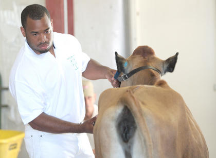 Chris Thomas of Campbellsville waits for his cow to be inspected during the 16-and-older showmanship competition.