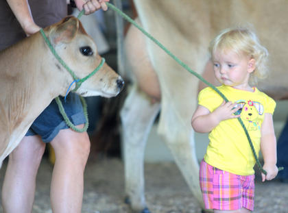 Ellis Croshaw of Danville leads a cow, borrowed from Chris Thomas, towards the ring, where the novice showmanship competition was held.