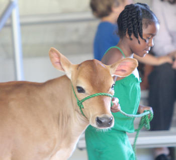 Jamicia Calpert of Bardstown coaxes her cow around the ring during the novice showmanship competition.