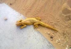 """<div class=""""source"""">Submitted by Carl Turner</div><div class=""""image-desc"""">Carl emailed this photo of an Arabian spiny-tailed lizard to his son. """"These guys get big,"""" Carl said. """"I hope your class likes your pictures. Keep up the good work for Mrs. Burdette and momma. Love you son.""""</div><div class=""""buy-pic""""></div>"""