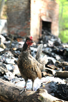 """<div class=""""source"""">Stevie Lowery</div><div class=""""image-desc"""">A rooster stands among the burned debris.</div><div class=""""buy-pic""""></div>"""