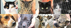 """<div class=""""source""""></div><div class=""""image-desc"""">The following pets are available for adoption at the Marion County Animal Shelter in Lebanon. • Many awesome young dogs and cats. • Adopt a black kitten for Halloween. • Extra large neutered black and white cat • Calico, gray, black and white, gray striped cats • Orange kittens and cats • Many magnificent pits bulls, male and female • Female beagle, sweet • Female Alaskan husky • Male hound • Male gray brindle great dane/mtn cur mix Animals at the shelter are handled daily, are socialized and generally well-behaved. Please help slow the tide of incoming pets by spaying and neutering your pets. If your pet is missing, call the shelter-it may be there. Also, all cats and dogs should have a rabies shot. To adopt an animal, potential owners must complete an adoption application. The animal shelter accepts stray or unwanted animals. The shelter is located off of KY 208 and is open from 10 a.m. to 4 p.m. on Monday, Tuesday, Thursday and Friday. The shelter is also open from 9 a.m. to 12 p.m. on Saturday. The shelter is closed on Wednesdays. The phone number is 270-692-0464. </div><div class=""""buy-pic""""></div>"""