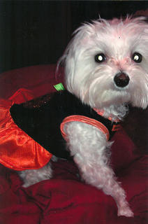 Princess Coco is a 2-year-old female Maltese. Her owner, Alesha Elder, fell in love with Malteses as a child, and getting Princess Coco from All Paws was the best decision she's made. She can sit, roll over, lie down, crawl, dance, paw, and beg. She will even give you kisses if you ask her to.