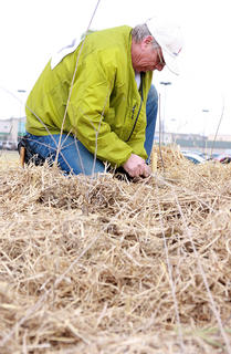 Nobby Lynch ties rope around some bamboo stakes as the final step in the tree planting process.