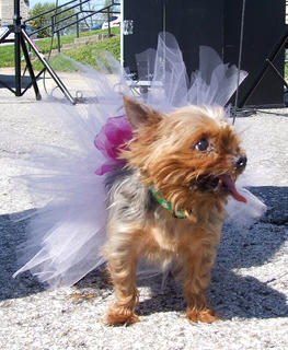 China, a yorkie, was the smallest dog at Strut Your Mutt.