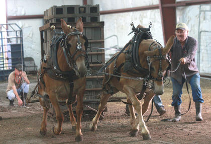 Perry Glass of Glasgow drives his team - Pat and Bill - in the under 2,000-pound class at the mule pull.