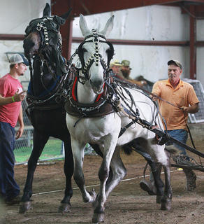 Danny Grubb of Manchester drives his mules Roady and Donner in the under 2,000-pound class.