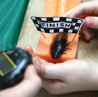 """A Madagascar hissing cockroach reaches the finish line during the """"cockroach races"""" at 4-H Science Day."""
