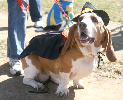 Basset hound Lucy came dressed as a witch.