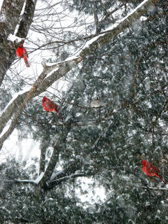 Lisha Mitchell took this photo of several cardinals perched in a tree while the snow was falling at a rapid pace.