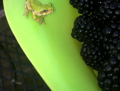 Pictured is a frog that decided to hop on for a ride on the container of berries that Amy Moregson had been picking. The frog must have thought he was invisible.